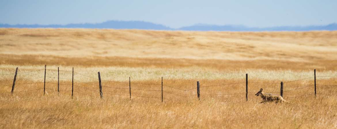 Next to a fence, a coyote wanders a vast straw-colored grassy expanse. Misty blue-gray mountains and sky can be seen in the distant background.