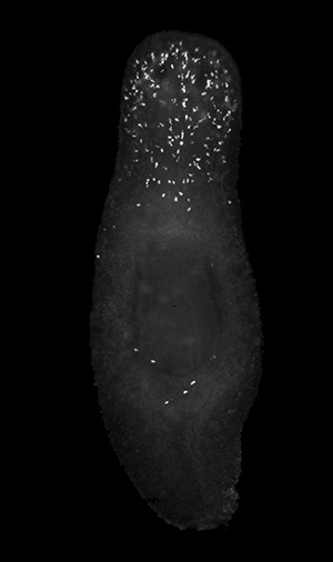 Damaged cells (illuminated) died off in the lower half of the planarian, but persisted in the upper half. (Credit: Oviedo Lab)